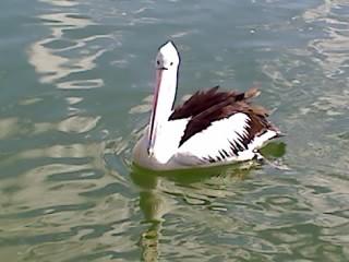 Tweed Pelican